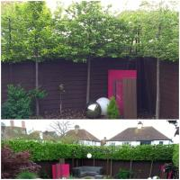 Re-pleaching / Pruning Pleached Trees / Management of Pleached Trees