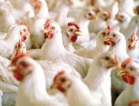 Heat stress in poultry – What can you do?