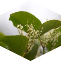 How is Japanese knotweed controlled?