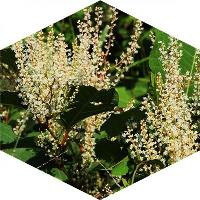 Can Japanese knotweed spread by seed?