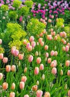 A PASSION FOR TULIPS AT PASHLEY