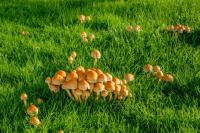 Are Lawn Mushrooms Poisonous?