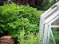 Why you shouldn't – ever – tackle Japanese Knotweed yourself
