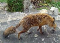 Fox Pest Control London | Get Rid of Foxes | London