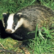 TB Prevention With Badger Wire Fencing From McVeigh Parker