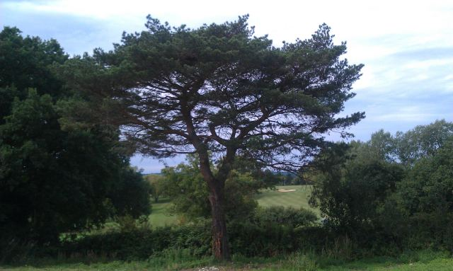 Mature Pine 22 months after moving