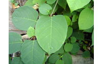 European Commission to consult on Japanese Knotweed Weed