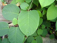 Japanese Knotweed and The Law