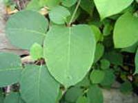Biological Japanese Knotweed Control - Discussion