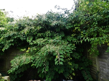 Japanese Knotweed Cell Burial