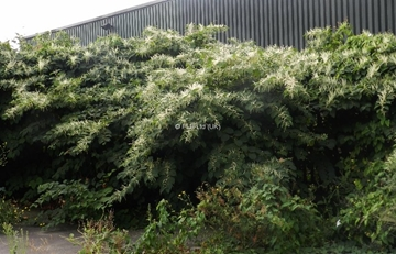 Invasive Japanese Knotweed Removal