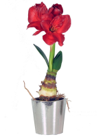Amaryllis Red Bulb with Silver Pot - 53cm, Red