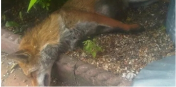 Dead Fox Removal Services For Construction Sites