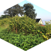 Japanese Knotweed Excavation and Off-site Disposal