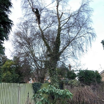 Tree Crown Lifting Services