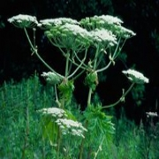 Giant Hogweed Solutions