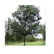 Large Tree Supply & Planting Services