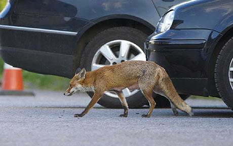 Disposing of Dead Foxes