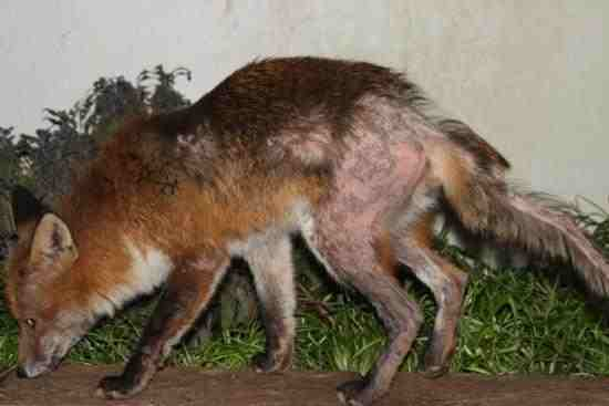 Control of Foxes in London