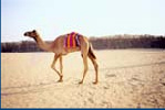 Camel Creep Mix Feeds Suppliers