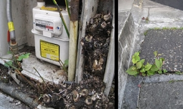 Japanese Knotweed Removal Experts