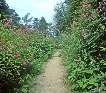 Himalayan Balsam Removal in Cheshire
