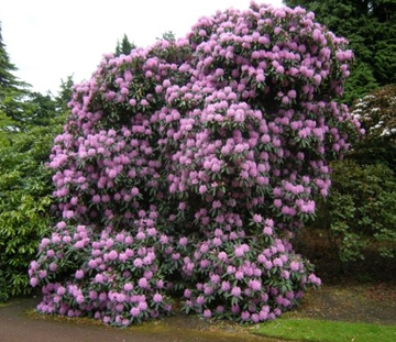 Rhododendron Treatment in Cheshire
