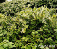Himalayan Knotweed Specialists In Birmingham